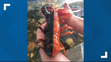 Super rare, 2-toned lobster caught in Maine